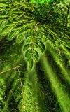 The Moringa Vegetable Tree a Nutritional Miracle